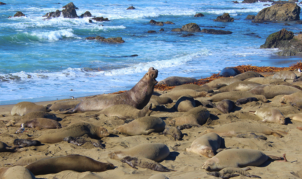 Elephant Seals Howl Along With Us!